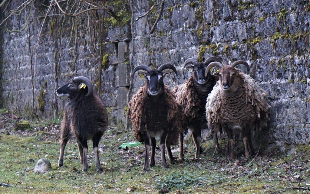 Les moutons entretiennent en se nourrissant les fossés.