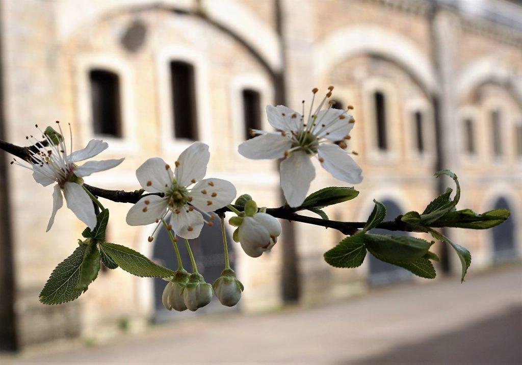 les merisiers en fleurs au Fort de Bron