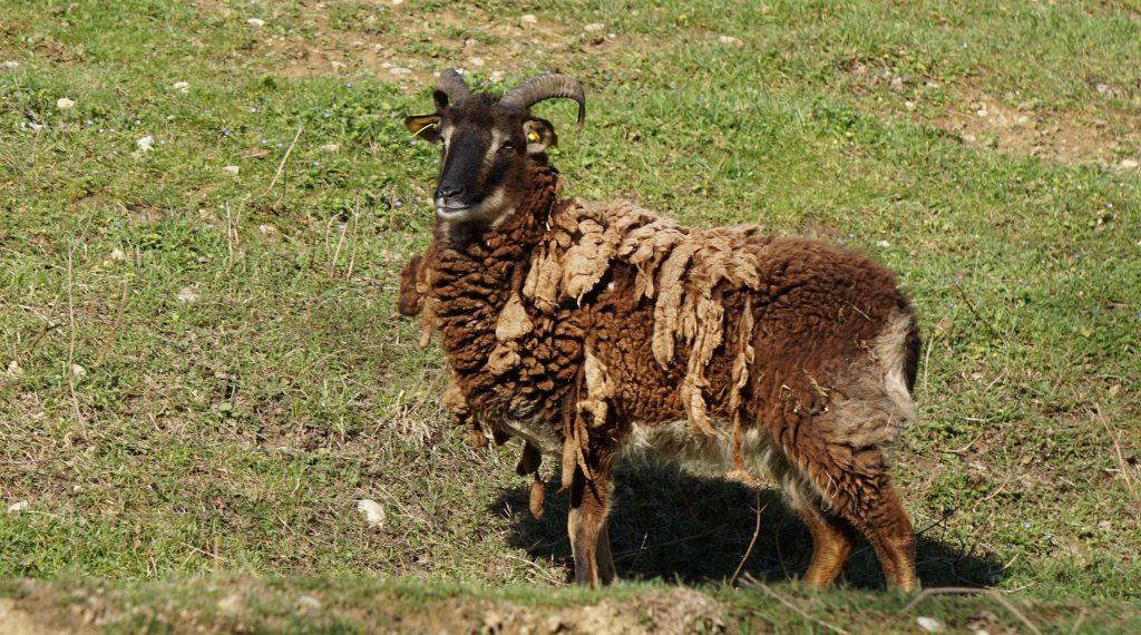 Mouton de Soay au Fort de Bron