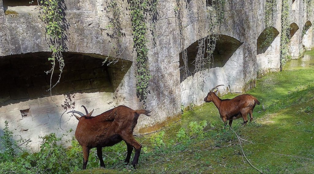 Chèvres dans les fossés du Fort de Bron